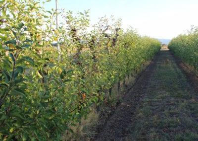Frukttrær ved innsjøen Trasimeno i Umbria