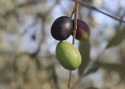 Oliven i Umbria
