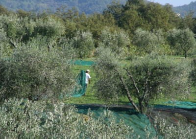 Azienda Agricola Pomario - høsting av oliven