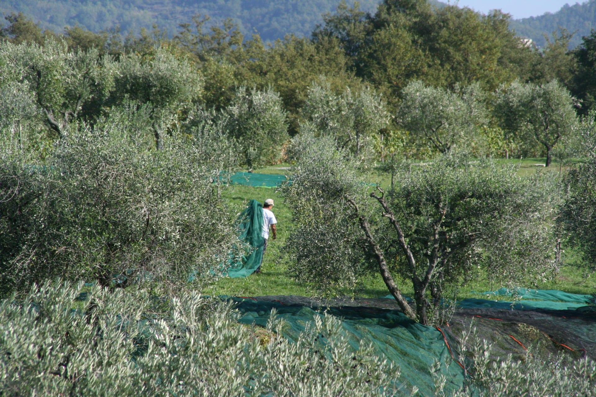 Høsting av oliven - Foto: Azienda Agricola Pomario