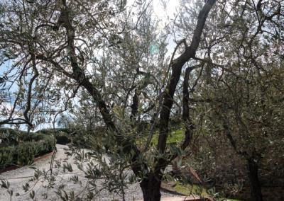 Azienda Agricola Pomario - oliventre på gårdstunet